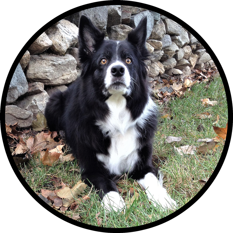 Field Stone Border Collies